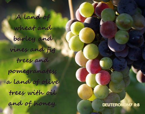 Deut 8:8 A land of wheat and barley and vines and fig trees and pomegranates; a land of olive trees with oil and of honey;