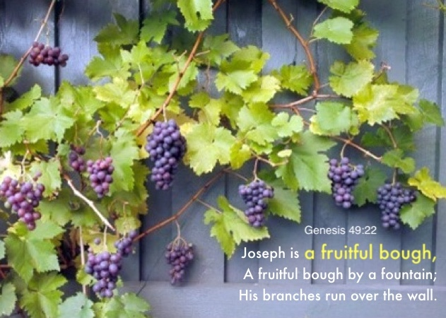 Genesis 49:22 Joseph is a fruitful bough, A fruitful bough by a fountain; His branches run over the wall.